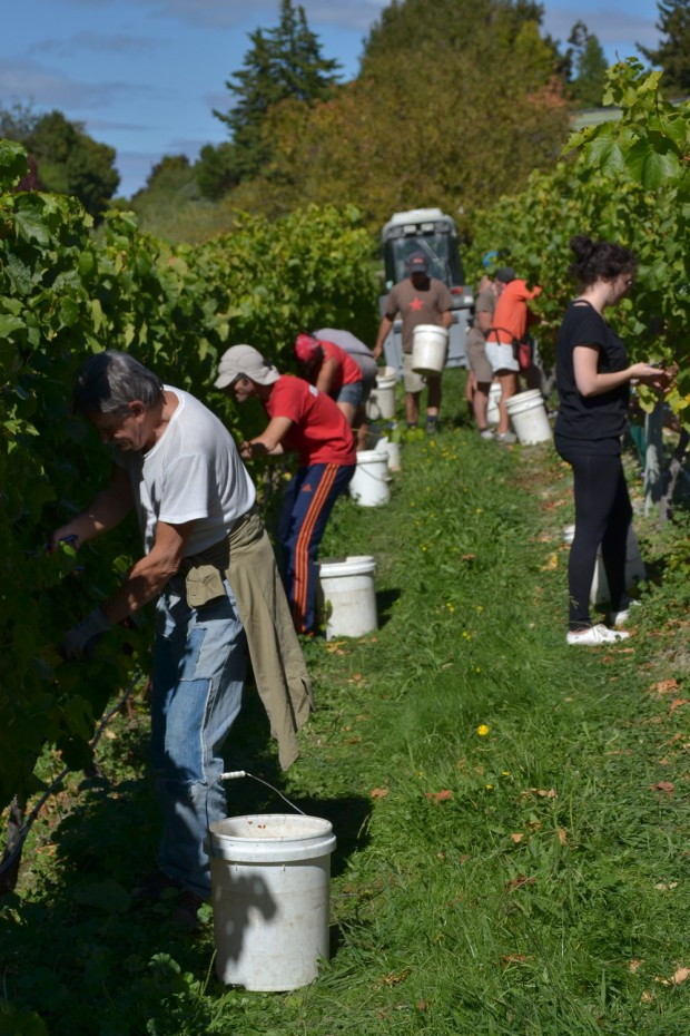 Vineyard Harvesting