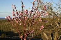 Nectarine Flowers