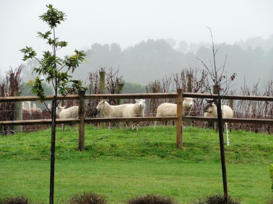 Winter  Grazing Sheep
