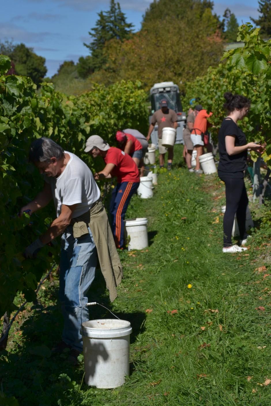 Vineyard Harvesting